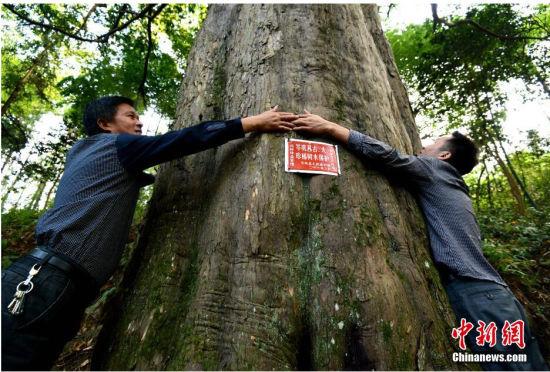 贵州岑巩现两千年树龄亚洲最大红豆杉