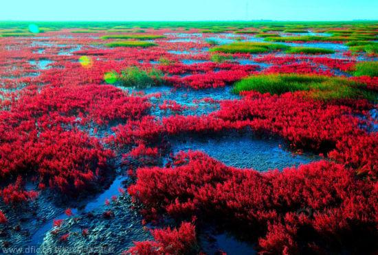 辽宁盘锦红海滩别样秋色红色海洋诱惑