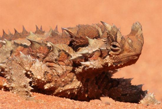 澳洲魔蜥趣事盘点:进食等蚂蚁自动经过