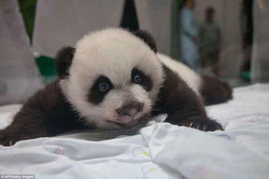 广州长隆野生动物世界的大熊猫三胞胎,是世界上第一例存活到100天的大熊猫三胞胎。长隆野生动物世界总经理董贵信表示体验结果显示3个小家伙的身体非常健康。   大熊猫三胞胎当前的体重超过11磅(约合5公斤),出生时的体重只有3.5盎司(约合100克)。出生后大约80天,3个小家伙开始长牙,现在已经有2颗小牙   三胞胎是在7月29日降生的,雌宝宝最先出生,两只雄宝宝随后降生,整个分娩过程不到4小时。3个小家伙降生时,一些兽医曾指出它们全部存活的可能性几乎为零。现在,三胞胎用事实推翻了兽医的预测,不仅已经过