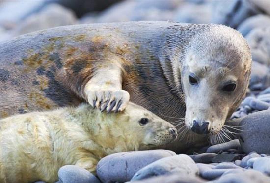 海豹母亲深情吻子抚摸对视萌态可掬