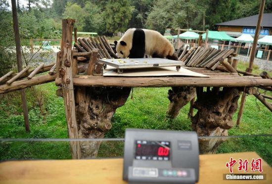大熊猫拒绝体检咬坏电子秤吐舌卖萌