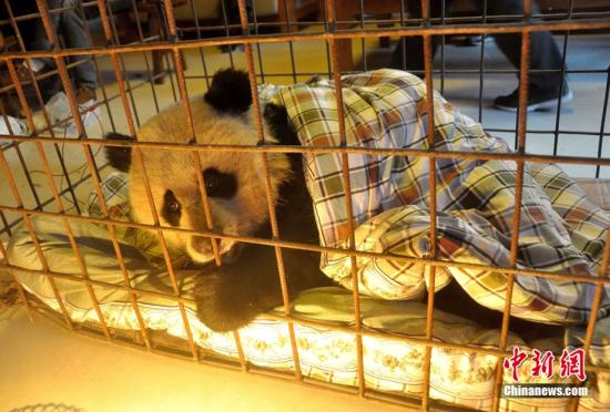 四川的受伤野生大熊猫被成功救治