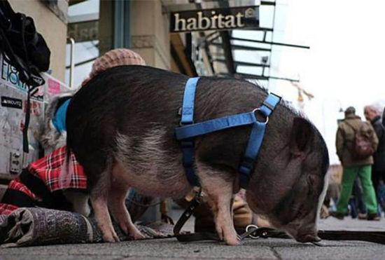 德国女子携迷你宠物猪在街头乞讨