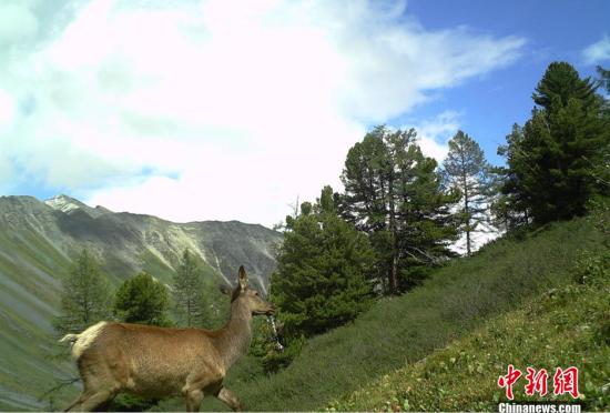 新疆喀纳斯景区向外首次公布野生动物影像