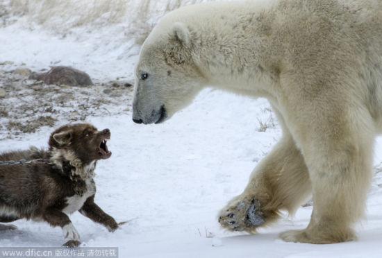 雪橇犬成功挑战北极熊:毫不退缩终胜利