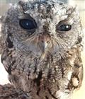 猫头鹰大眼睛