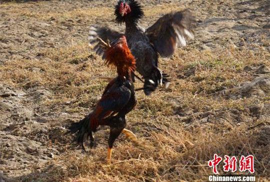 新疆南部农民举办冬季趣味动物运动会