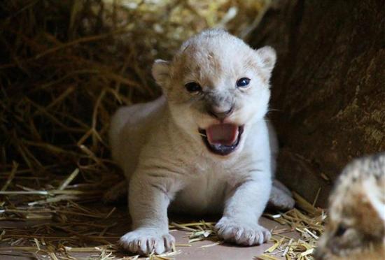 母狮一胎生3只宝贝罕见出现一头小白狮