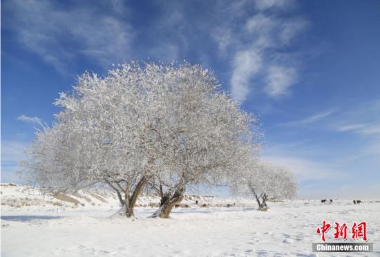 新疆昭苏地区连续降温后出现雾淞美景