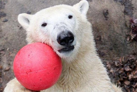 捷克北极熊迎来两岁的生日玩球呆萌可爱