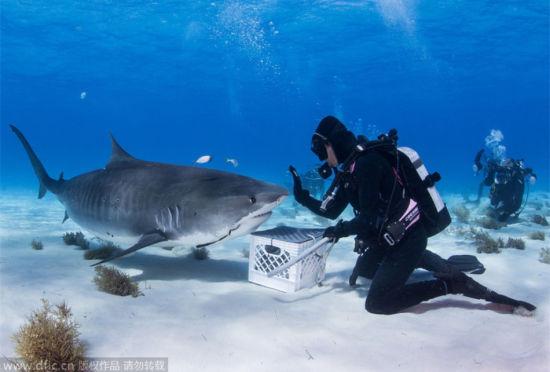 凶残虎鲨沉浸美食变乖萌吃货与人和谐相处