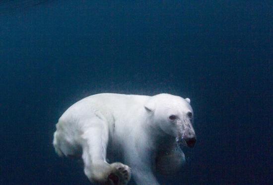 摄影师记录北极熊学习长距离游泳过程