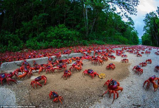 """圣诞岛红蟹大迁徙公路""""深陷""""红色海洋"""