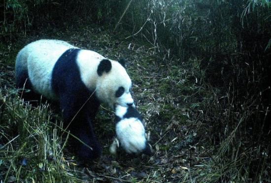 九寨沟首次拍到野生大熊猫叼崽同游画面