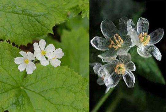 神奇的白色小花:骷髅花遇水变透明