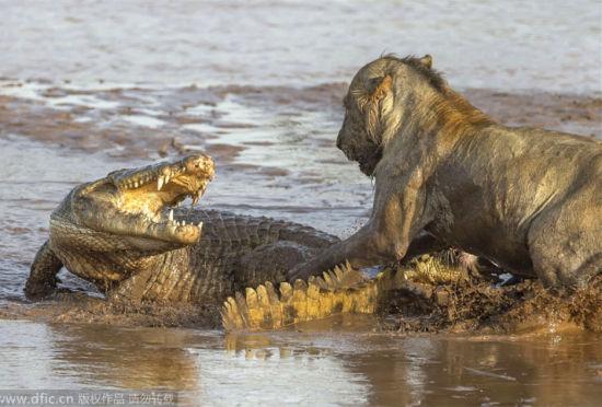 肯尼亚河上食物争夺战:狮子鳄鱼生死斗