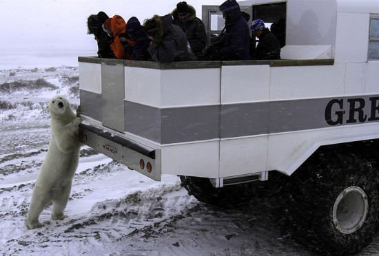 加拿大推出移动旅馆足不出户观赏北极熊