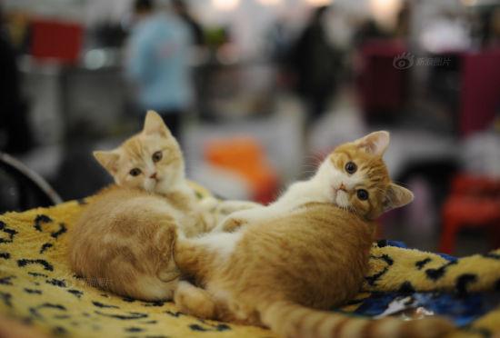 俄罗斯首都莫斯科举行国际猫展活动