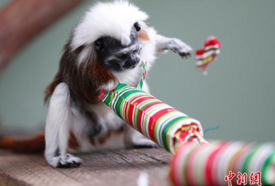 """澳大利亚动物提前""""拆开""""圣诞节礼物"""