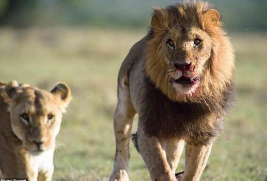 雄狮为保配偶陷入血战满脸伤痕终保妻