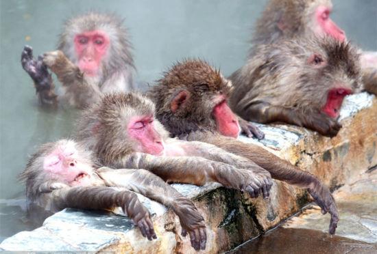 日本雪猴冬日泡温泉舒服至极昏昏欲睡