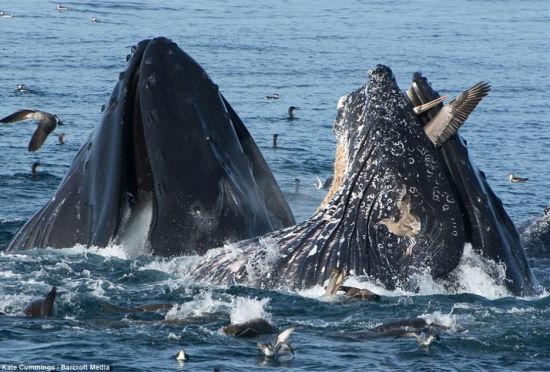 鹈鹕海面捕鱼险遭鲸鱼活吞死里逃生
