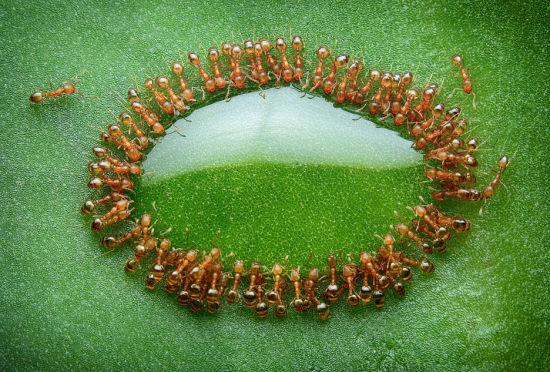 蜂蜜滴落树叶引上百蚂蚁吃大餐