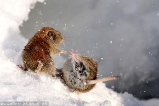 连打架都那么可爱:田鼠为争地盘大打出手