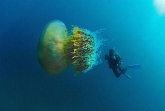 摄影师深海潜水遇罕见巨型野村水母