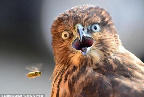 摄影师捕捉老鹰被疾驰而过的黄蜂吓呆瞬间