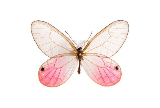 昆虫的外骨骼世界:透明蝴蝶和达尔文之蛾