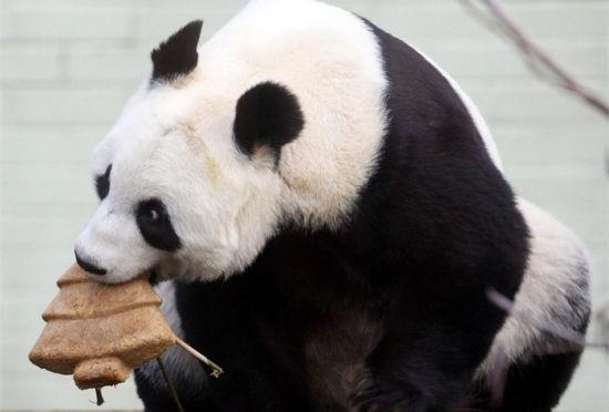 英爱丁堡动物园为大熊猫制作圣诞树蛋糕