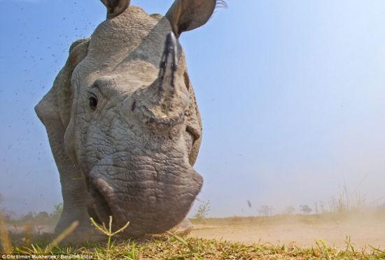 愤怒的犀牛朝着经过伪装的相机发动攻击