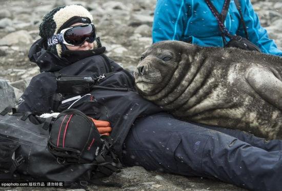 好奇的海象幼崽躺在人身上睡觉纹丝不动
