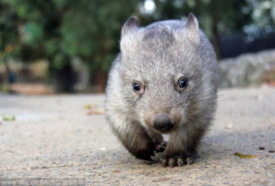 小袋熊误认动物管理员当妈妈形影不离