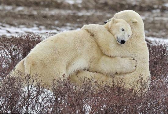"""北极熊雪中""""相拥""""大秀兄妹情深"""