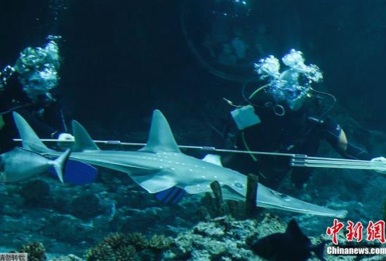 动物园年终盘点潜水员为犁头鳐量体长