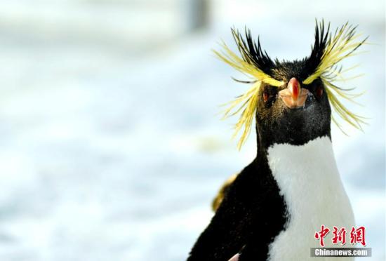 跳岩企鹅来北京做客助阵冰雪嘉年华