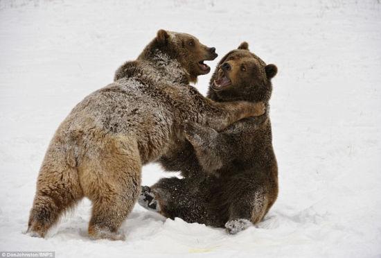 灰熊兄弟雪中戏斗憨态可掬动作似柔道