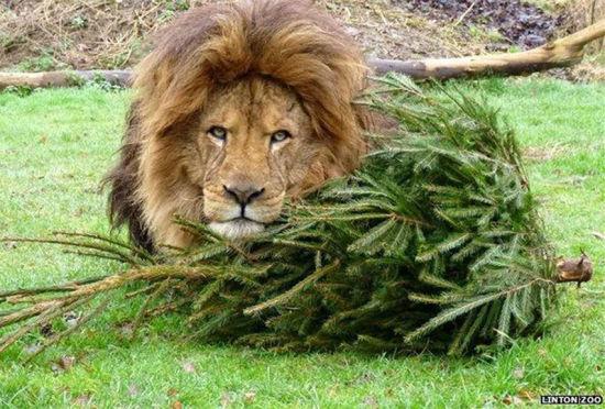 废弃圣诞树成狮子最爱玩具爱不释手