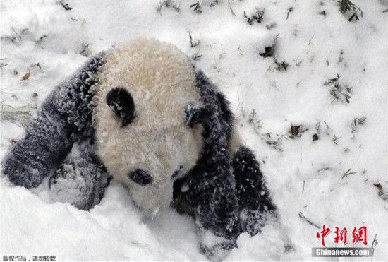 """旅美大熊猫""""宝宝""""雪地打滚萌化人心"""