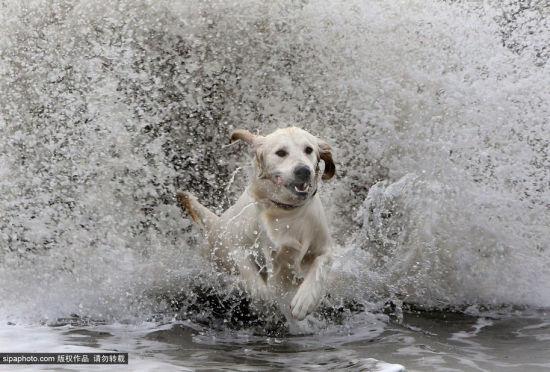 怕水的金色拉布拉多犬终成冲浪爱好者