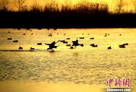 """甘肃河西走廊湿地""""三九""""时节野鸭尽欢腾"""