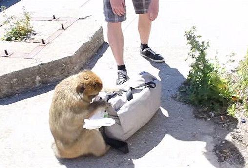 直布罗陀饥饿猕猴从游客背包里偷午餐