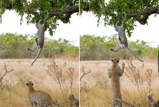 小幼豹树枝上玩耍母豹跳起将其抓到地面