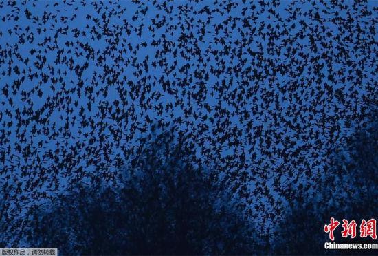 英国小镇成群椋鸟空中狂舞场面壮观