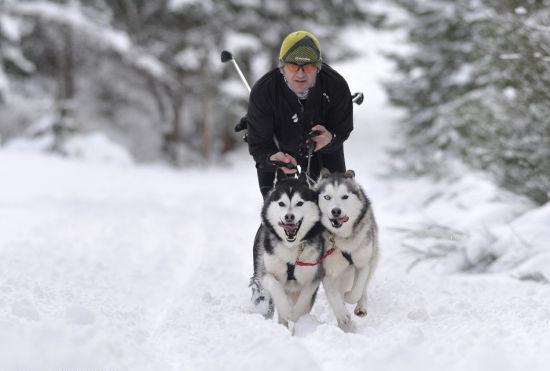 英男子训练哈士奇参加狗拉雪橇大赛