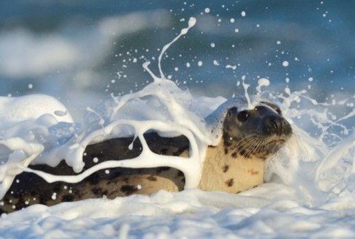 德国摄影师抓拍赫尔戈兰岛海豹群洗泡泡浴