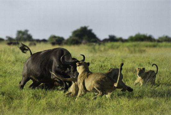 非洲母野牛勇斗狮群冒死救犊